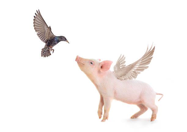 pig and bird stock photo