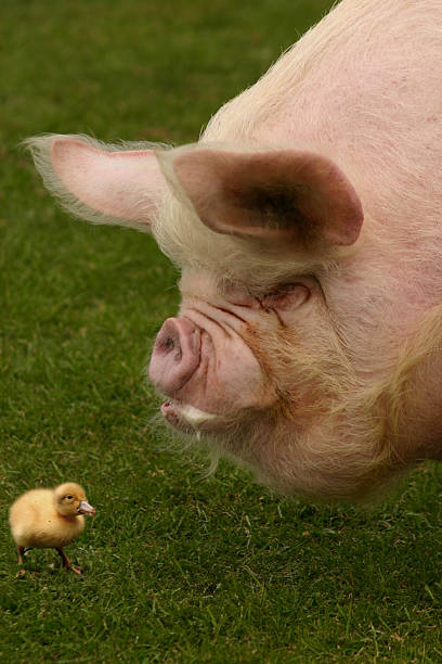 Pig and duckling stock photo