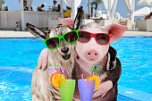 Pig and goat hugging with cocktails in paws on the pool background