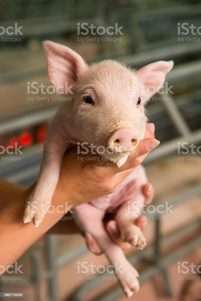 Pig at a factory stock photo