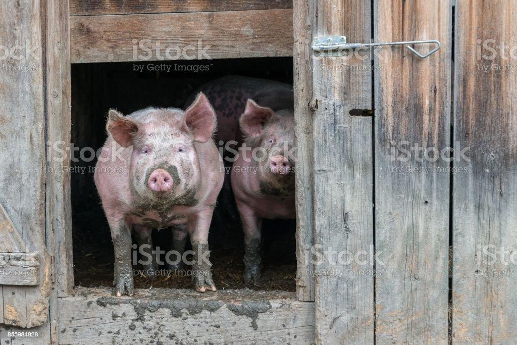 Bei einem Fachwerkhaus Schwein Schwein – Foto