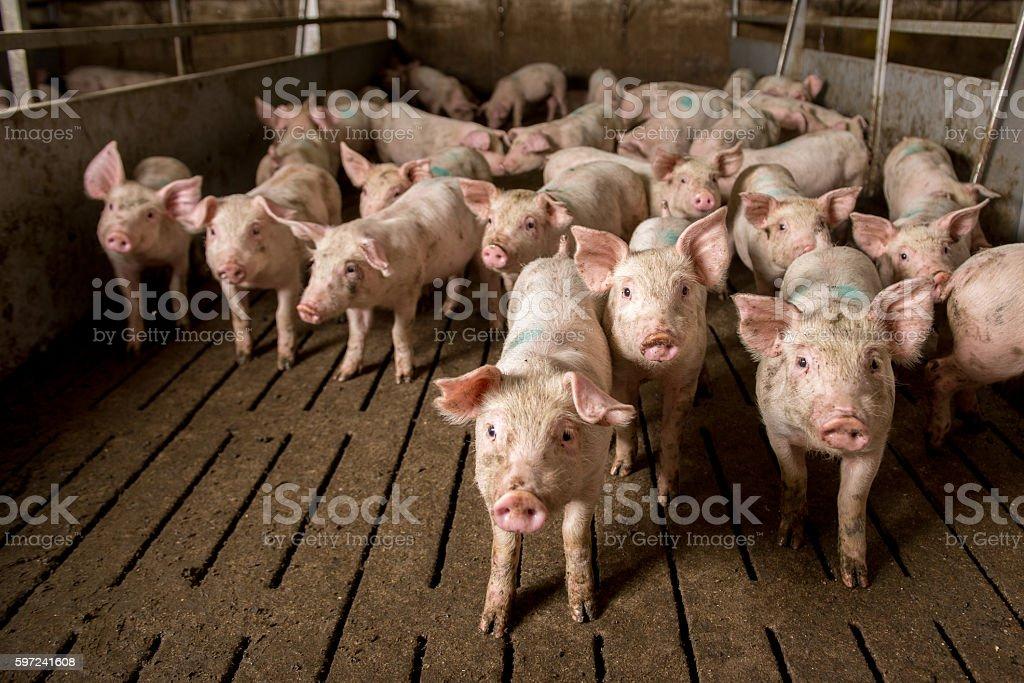 pig at factory royalty-free stock photo