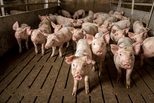 Pig At Factory Stock Photo - Download Image Now