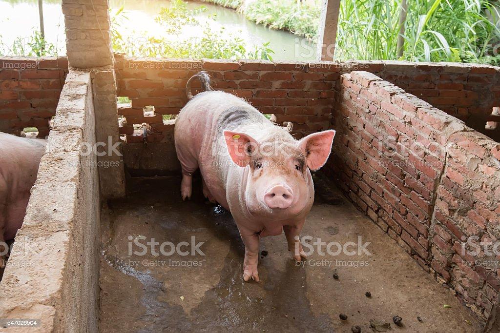 Schwein in der farm – Foto