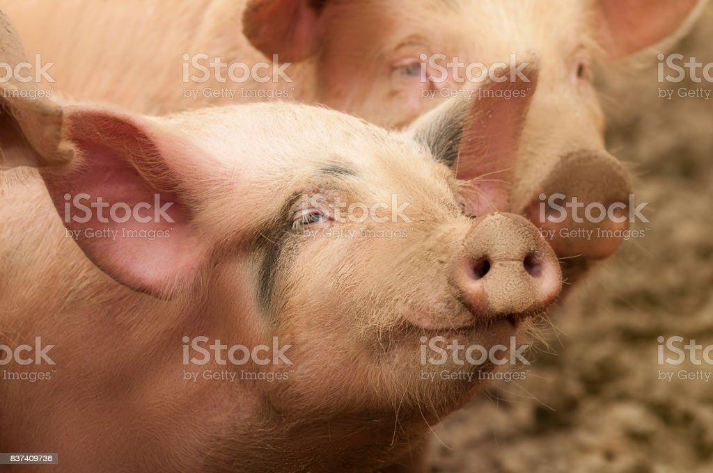Pig at pig farm. Nice pig portrait. Shallow depth of field.
