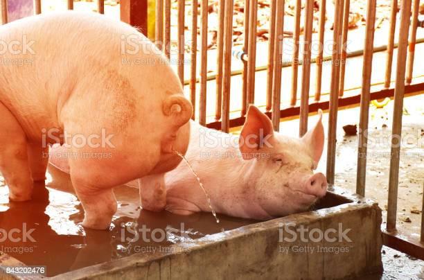 Pig bath picture id843202476?b=1&k=6&m=843202476&s=612x612&h=rcjhnjnsklamxnmnsj8radq2dzkjfiuhzvu4vwi jsc=