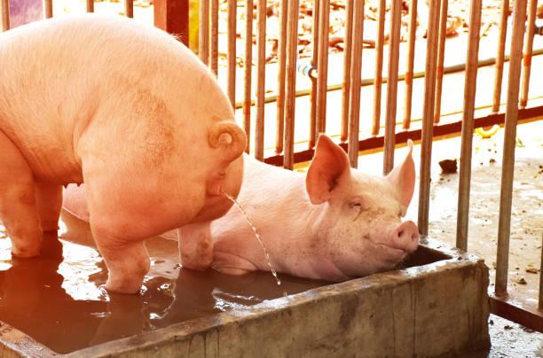 Cochon salle de bains - Photo