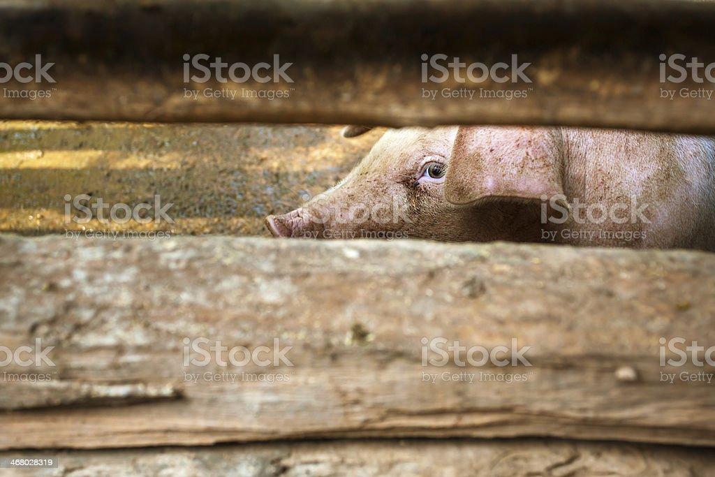 Cochon derrière la grange en bois de clôture - Photo