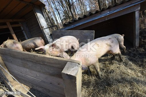 istock pig breeding in livestock farming 1316680570