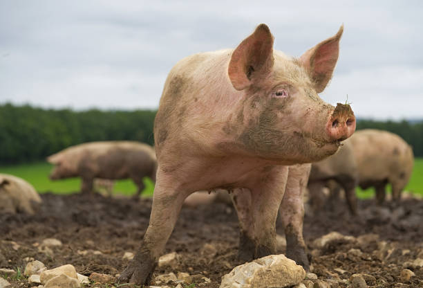 Pig close-up Domestic farm animals herbivorous stock pictures, royalty-free photos & images
