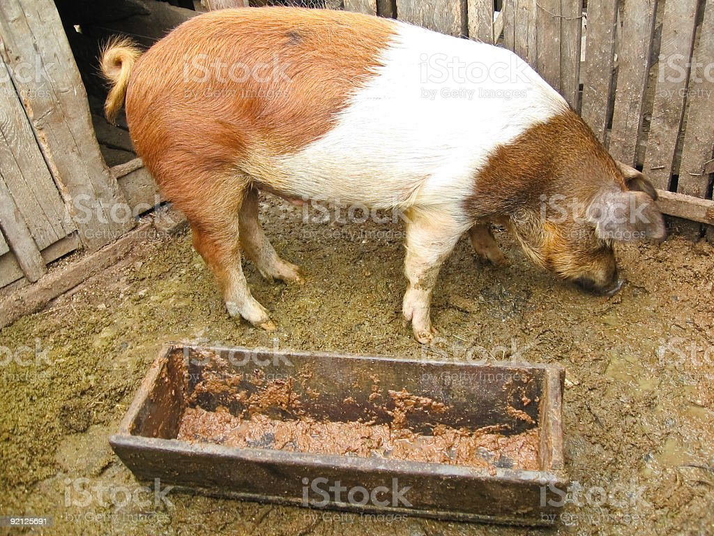 Pig courtyard royalty-free stock photo