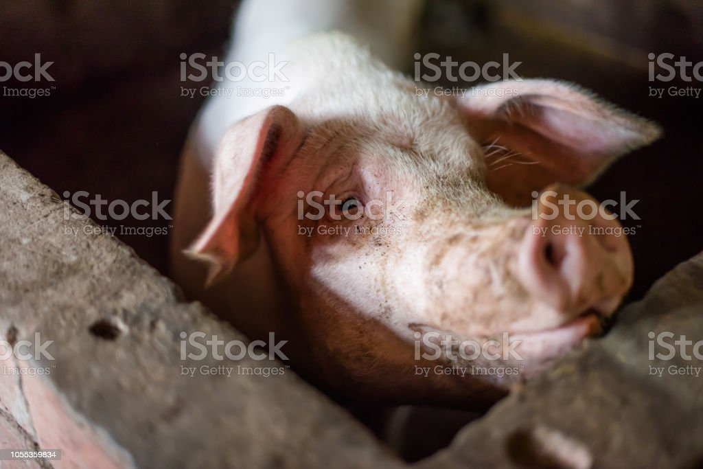 Pig enclosed in a farm royalty-free stock photo