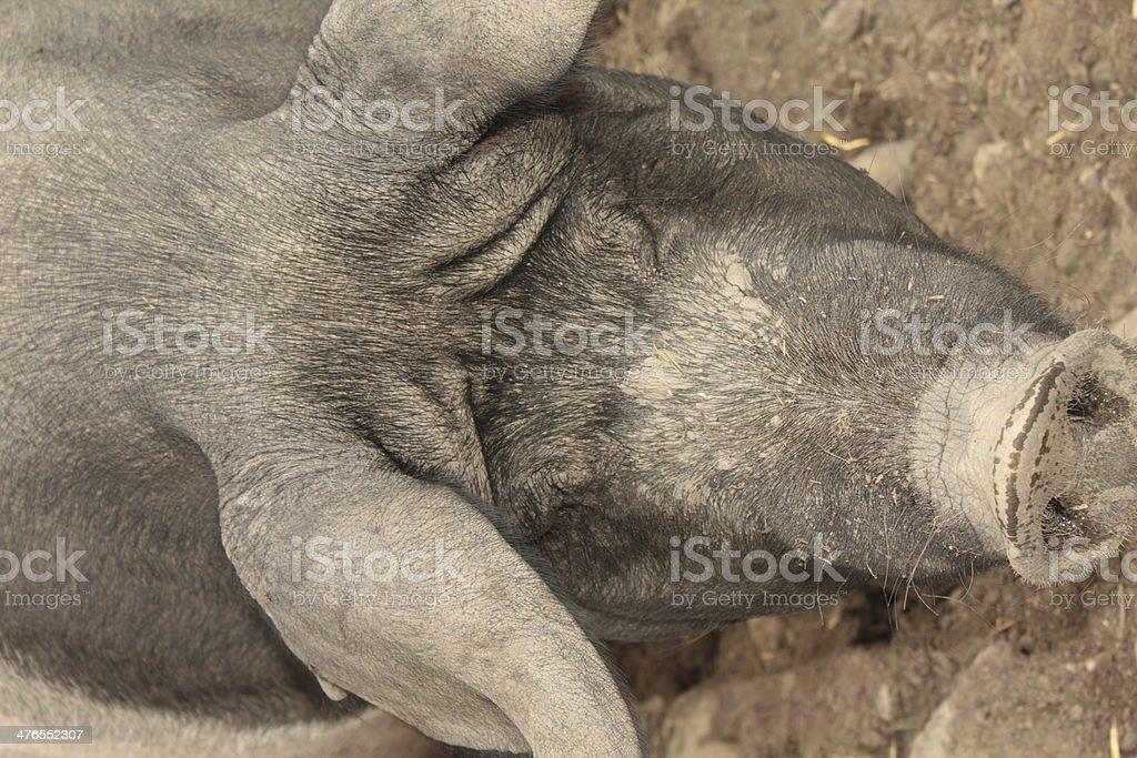 pig, farm, bristles, grunt, boar royalty-free stock photo