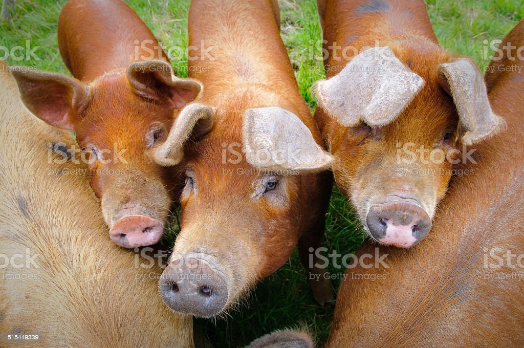 Pig farm in Highland Scotland stock photo