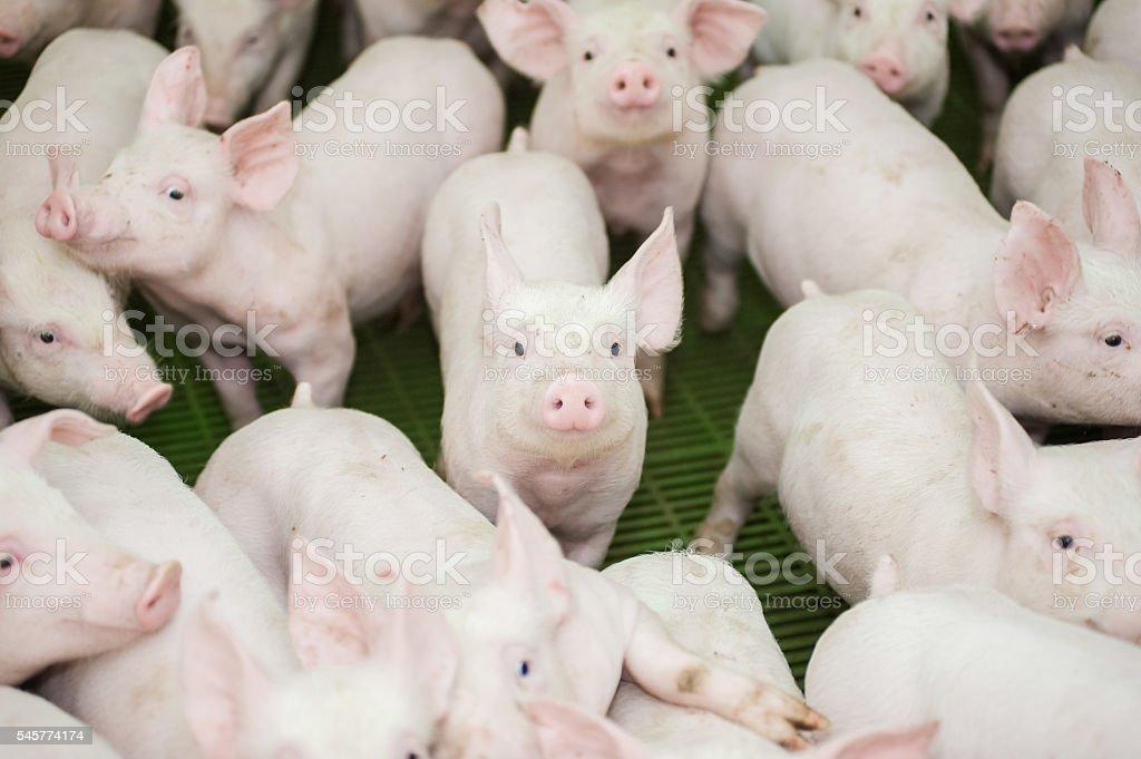 Pig farm. Little piglets stock photo