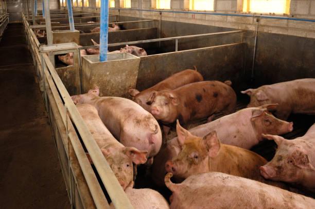 schwein farm - pig ugly stock-fotos und bilder