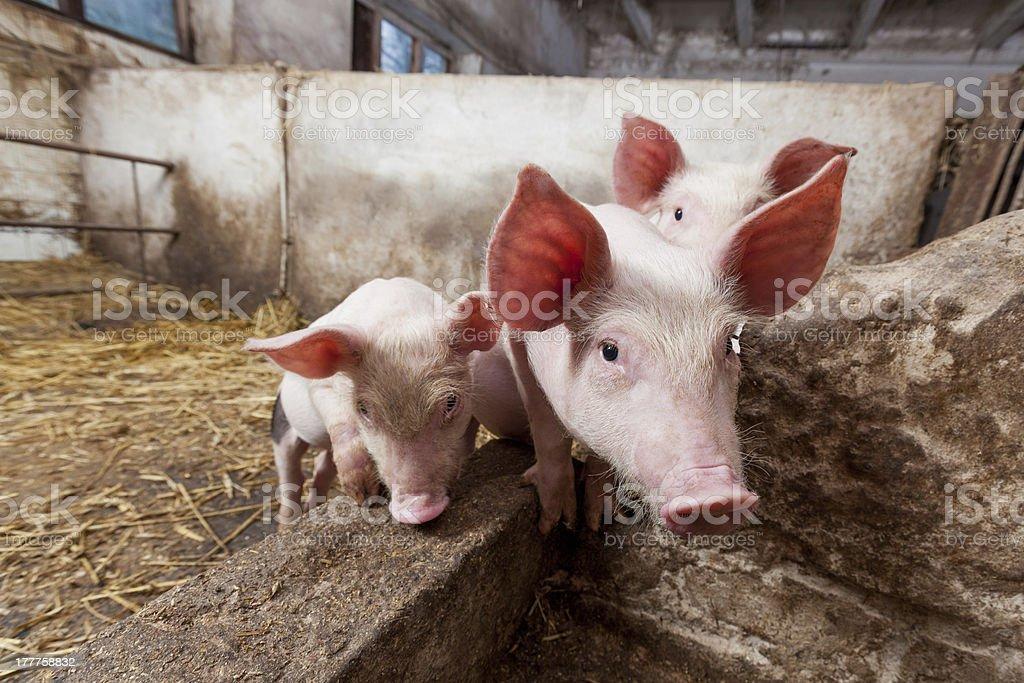 Pig farm stock photo