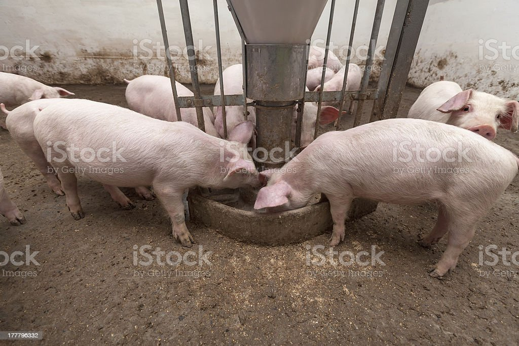 Pig farm royalty-free stock photo