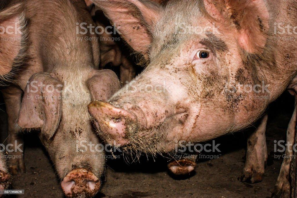 Schwein farm Lizenzfreies stock-foto
