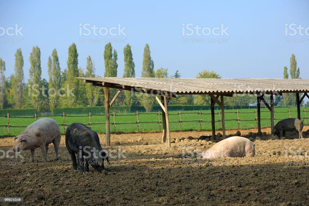 Pig Farm Scene royalty-free stock photo