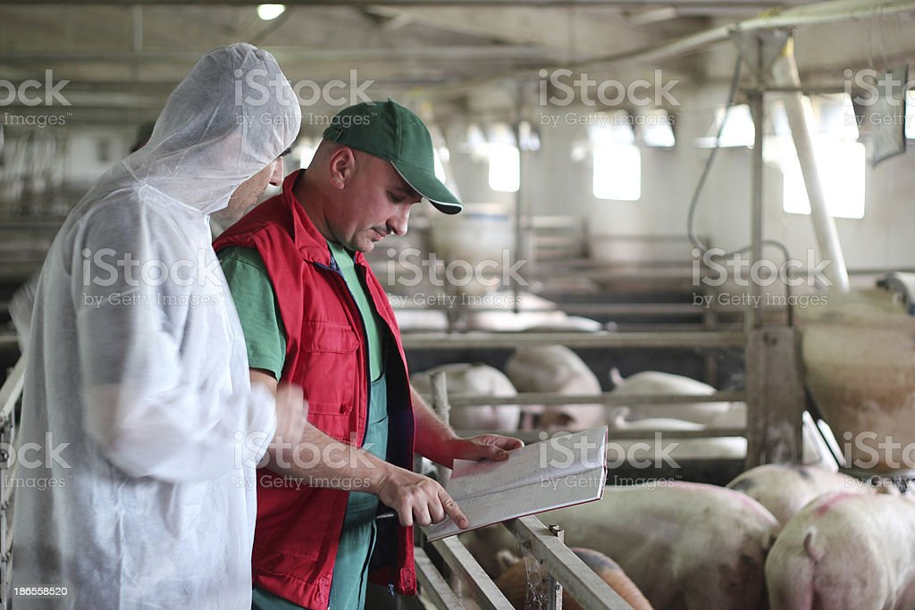 Pig Farm Workers stock photo
