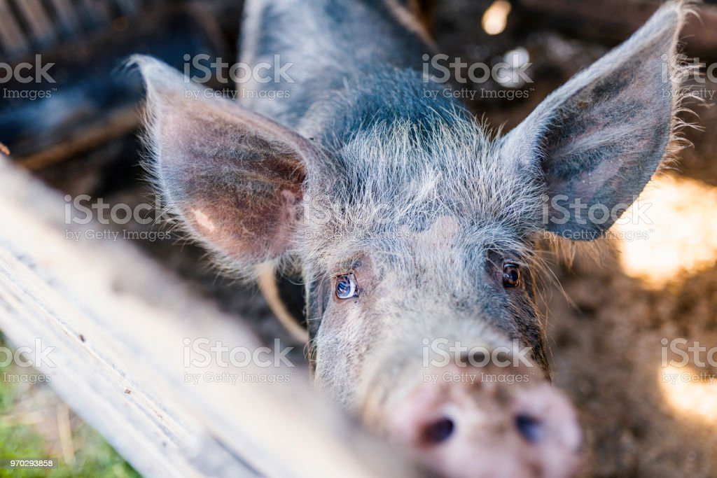 Pig Farming Is Raising And Breeding Of Domestic Pigs stock photo