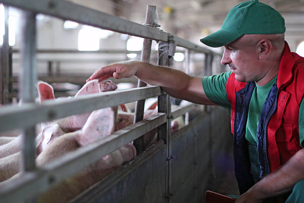 pig farming - pig farm stockfoto's en -beelden