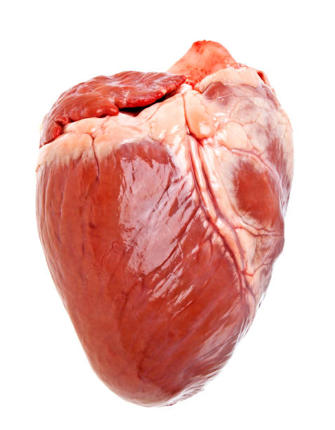 pig heart on a white background - human heart stock photos and pictures