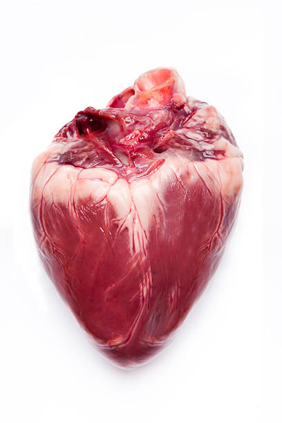 pig hearts. - human heart stock photos and pictures