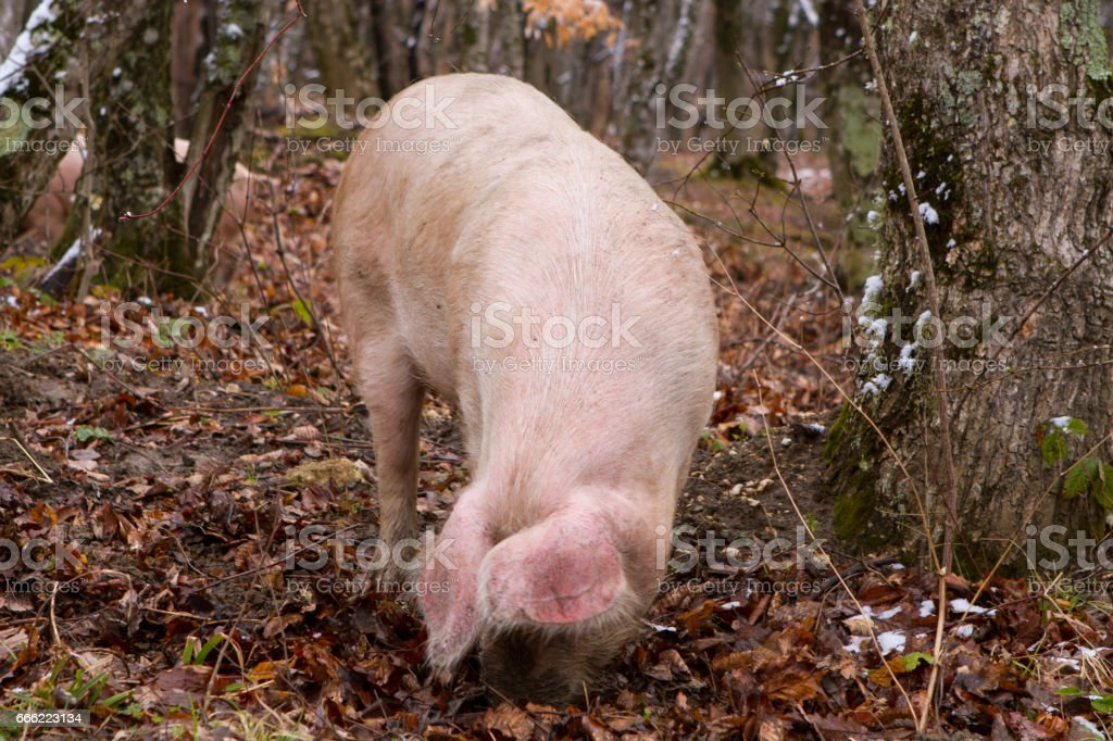 Pig in a mountain forest stock photo