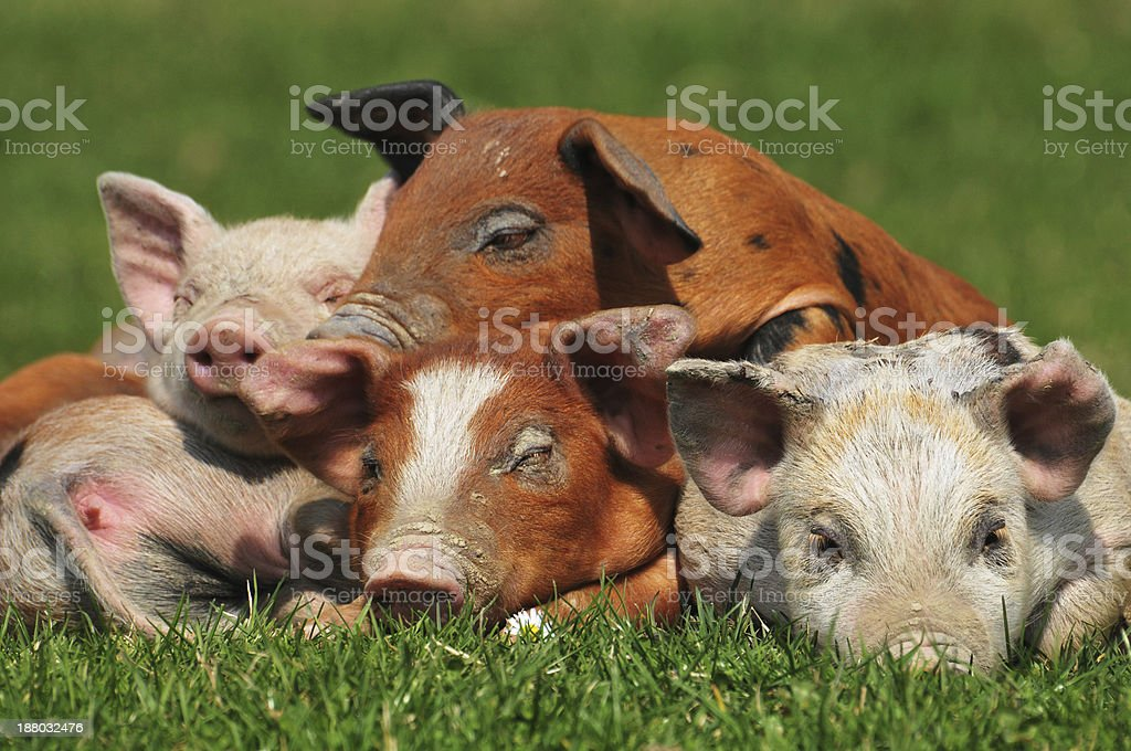 pig in a mud stock photo