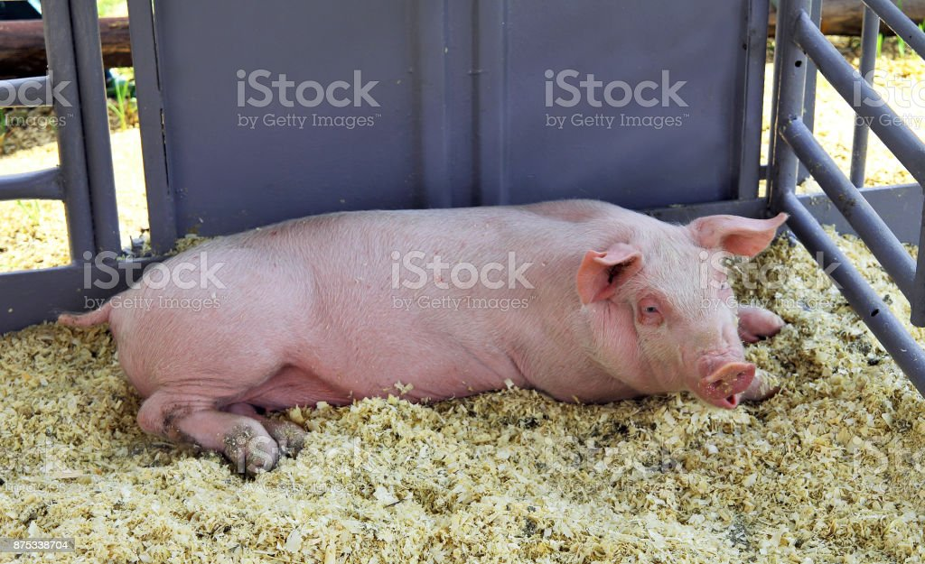 Pig in a pen stock photo