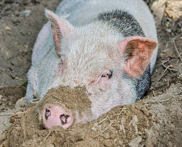 pig in dirt - dawdle stock pictures, royalty-free photos & images