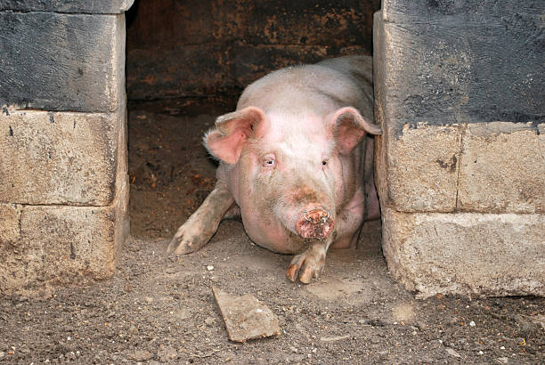 pig in its pigsty stock photo