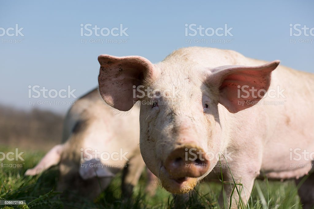 Pig in meadow stock photo