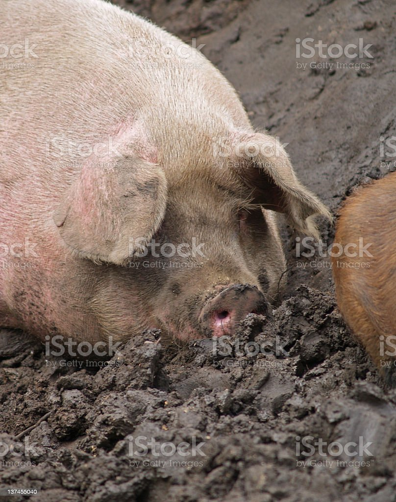 Pig in muck again stock photo