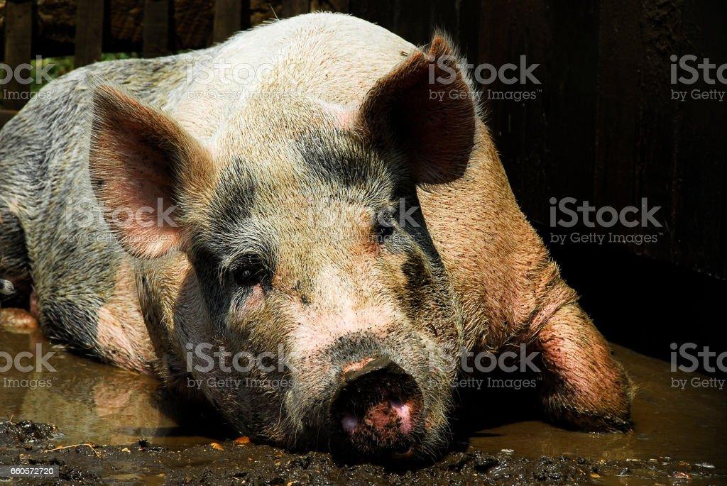 Pig in Mud stock photo