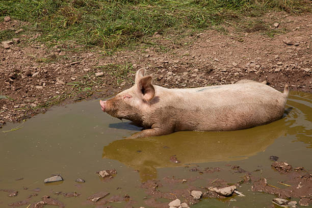 Pig in Mud Puddle stock photo