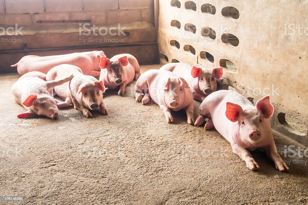 Pig in stable stock photo