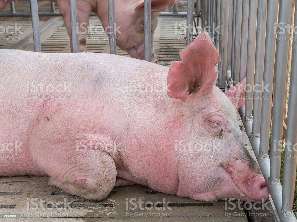 Pig in the cage at livestock exhibition stock photo