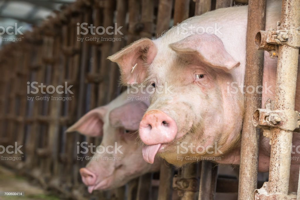 Pig in the countryside farm stock photo