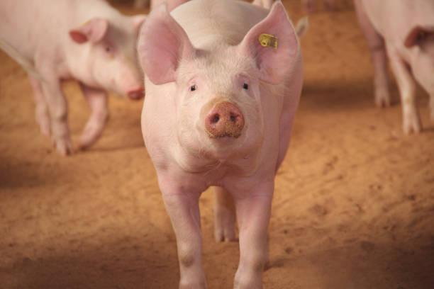 농장의 돼지 - 코 주둥이 뉴스 사진 이미지