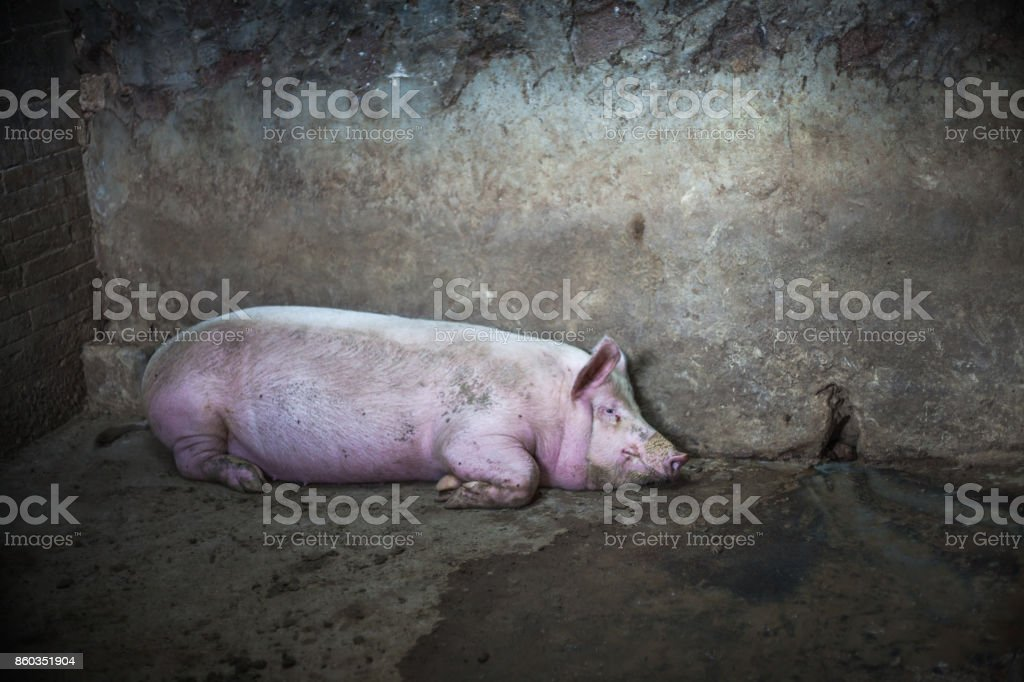 pig in the fence stock photo