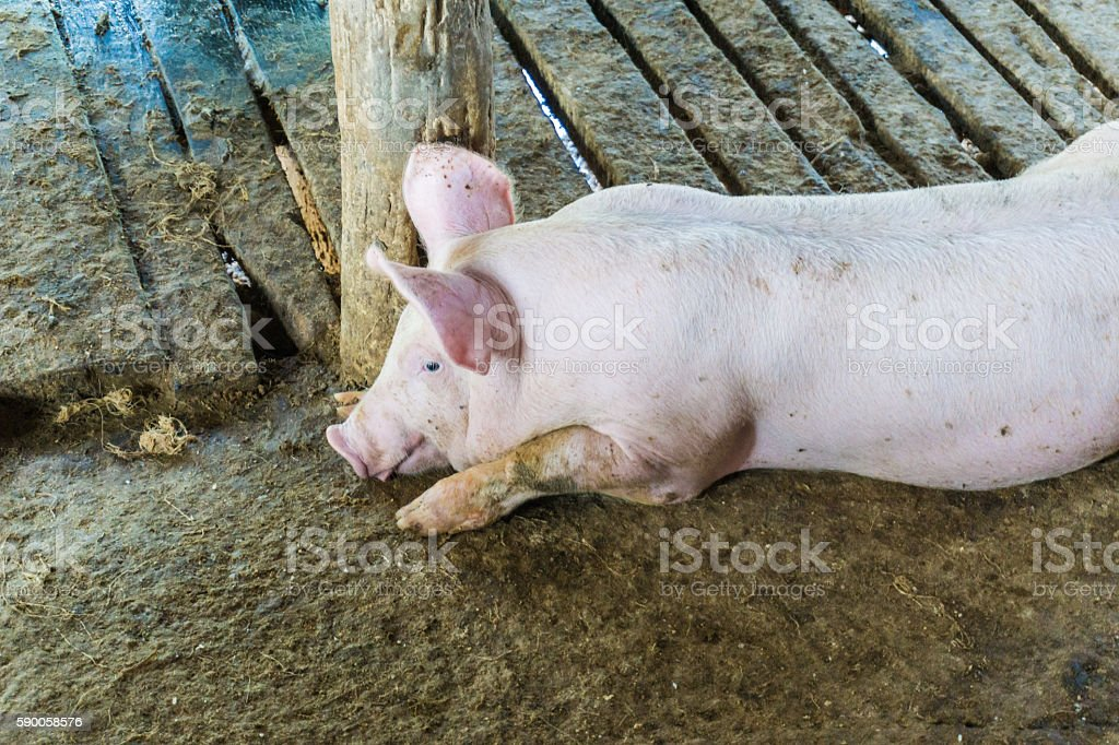 Pig in the rural farm stock photo