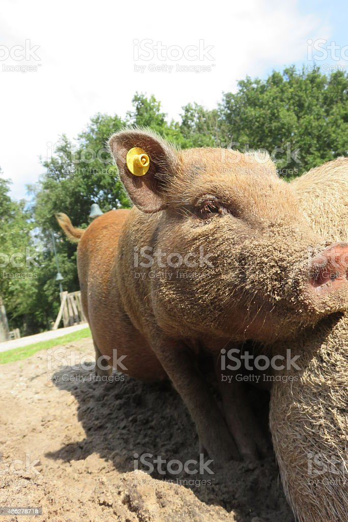 Pig in the sun stock photo