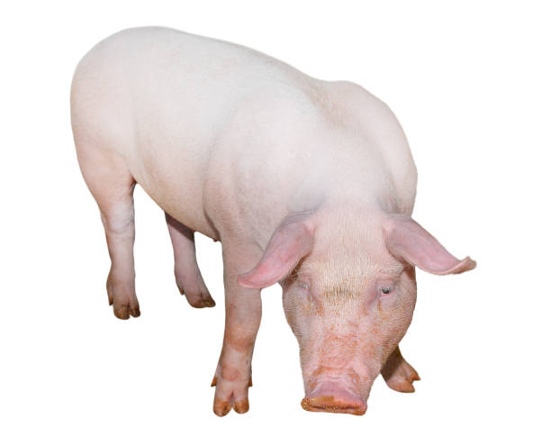 pig isolated on white background full length. very funny and cute pink pig standing and looking directly into camera. farm animals. piglet close up. - scrofa foto e immagini stock