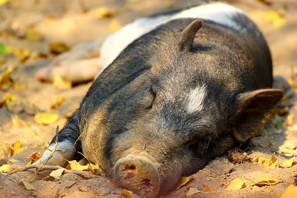 pig laying on the ground - dawdle stock pictures, royalty-free photos & images