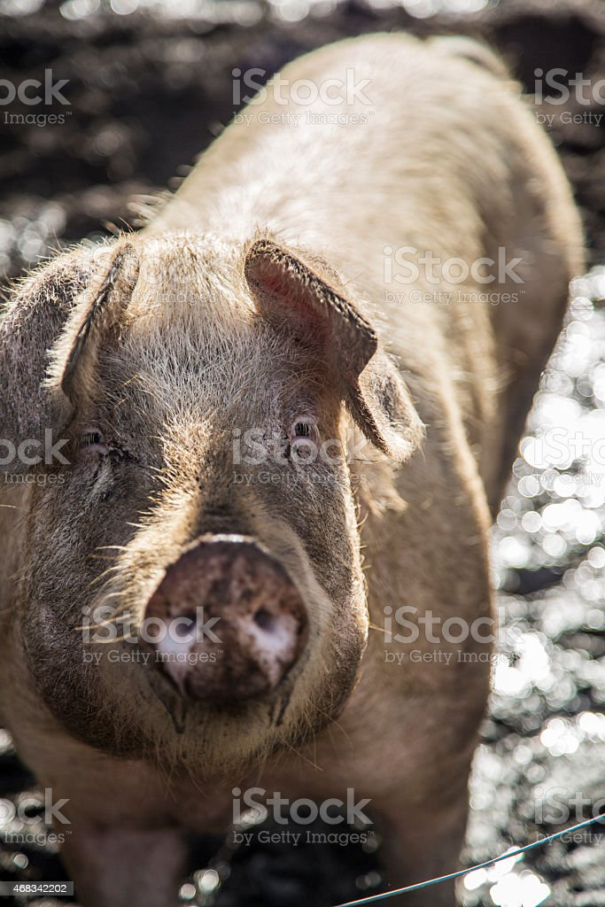 Pig living outdoors stock photo