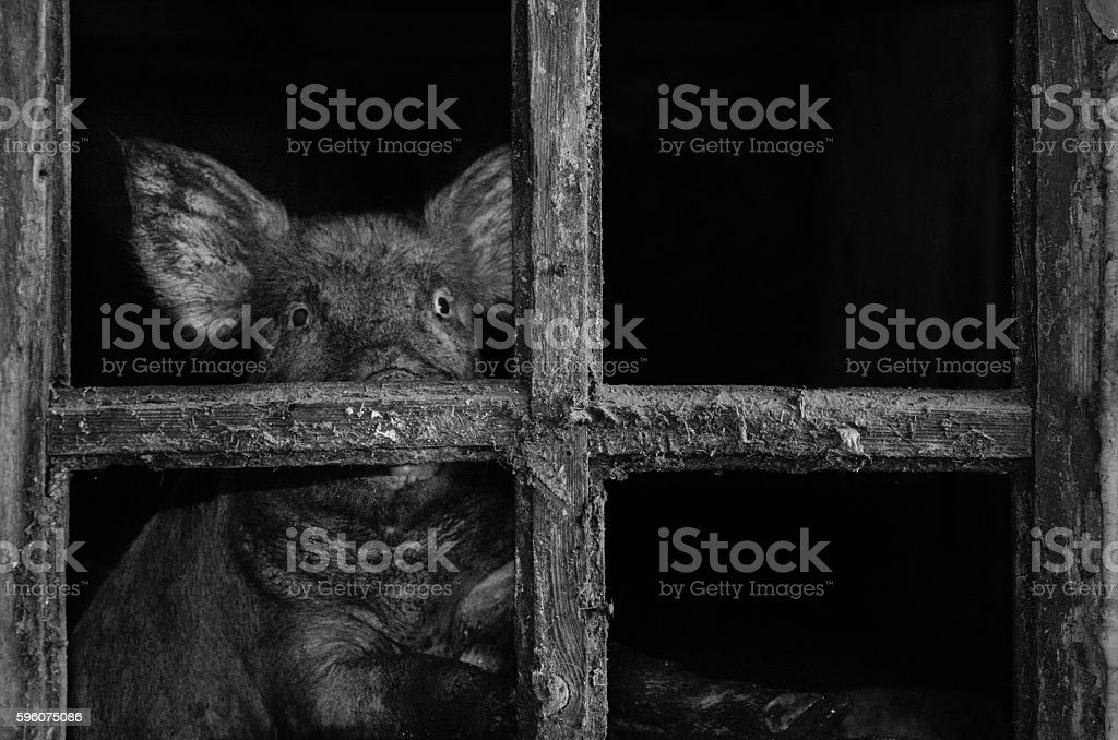 pig looking in the window frame royalty-free stock photo