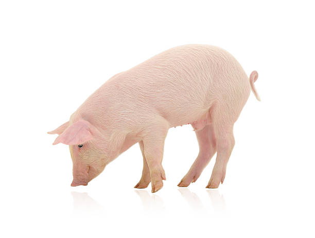 A pig looking to the ground on a white background